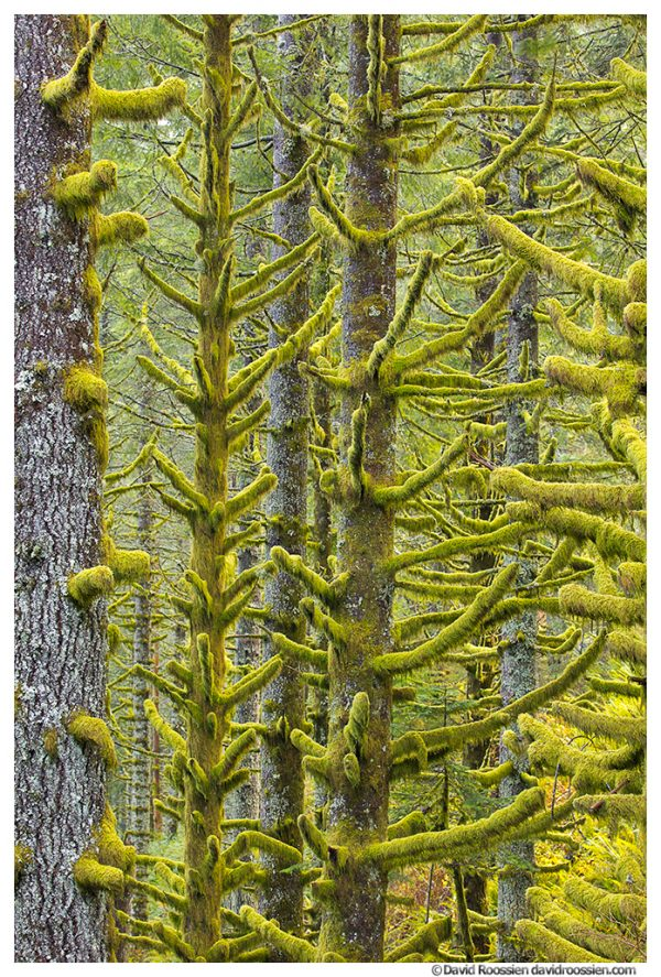 Mossy Branches, Capitol State Forest, Washington State