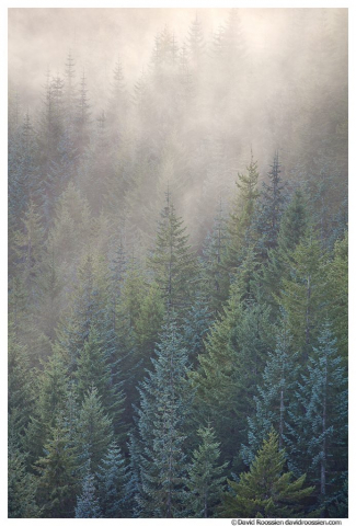 Misty Blue and Green Pine, Capitol State Forest, Washington State