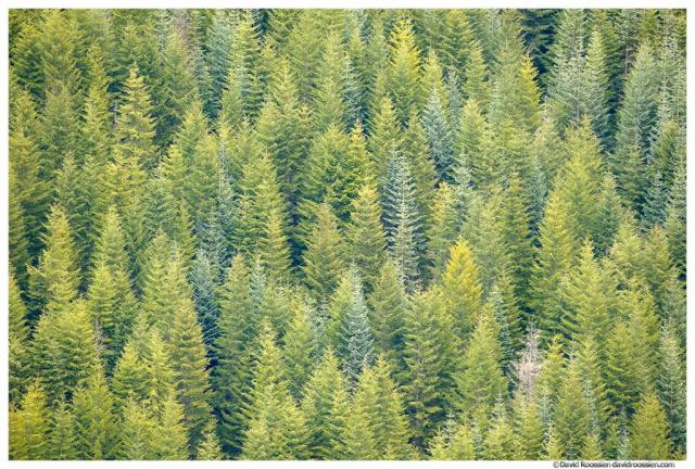 White River Valley Trees, Snoquera, Washington State