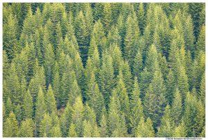 White River Valley Trees, Eleanor Ridge, Washington State