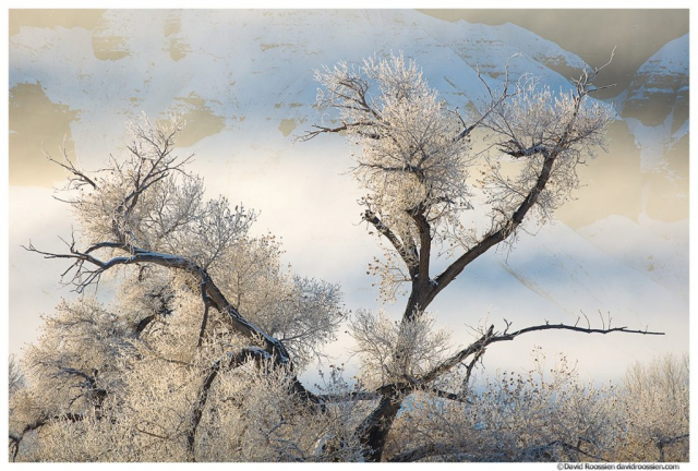 Freezing Fog and Frost Covered Cottonwoods, Caineville, Utah